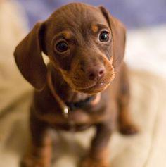 Mini Daschund Puppy - aww! We need another mini-daschund, missing Marles!