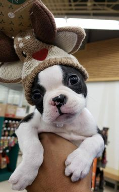 "Visit our web site for more details on ""boston terrier puppies"". It is actually a superb spot to find out more. Cute Puppies, Cute Dogs, Dogs And Puppies, Bulldog Puppies, Doggies, Pitbull Terrier, Terrier Dogs, Dogs Pitbull, Pets"
