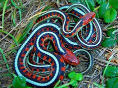 Beautiful red sided garter snakes