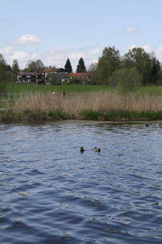 Entenpärchen, Soier See, Bad Bayersoien, Ammergauer Alpen