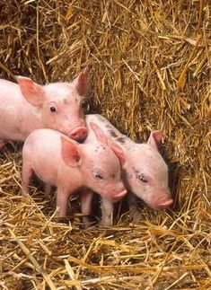 baby pigs image by cooptrapper - Photobucket