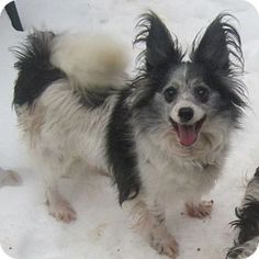 Oak Ridge, NJ - Papillon. Meet Weeble a Dog for Adoption.Weeble is a timid but sweet 11 year old papillon who spent her entire life in a puppy mill. Her teeth were so rotted from poor diet that she only has 2 remaining but she eats dry food just fine,  She loves other small dogs and is looking for a calmer adult home with at least one other small dog to help her feel more comfortable http://www.adoptapet.com/pet/11822801-oak-ridge-new-jersey-papillon