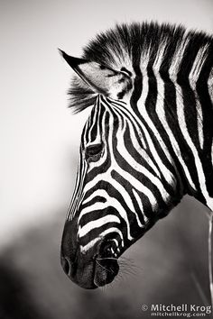 African Zebra, Pilanesberg, South Africa by Mitchell Krogon