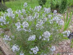 Amsonia hubrectii--very drought tolerant native plant.  Tolerates heat, humidity and drought.  Beautiful flowers in the spring and the foliage turns yellow in fall.