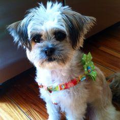Cutest dog in the world (shih tzu/ chihuahua mix)