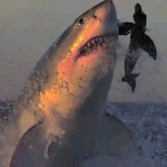 Unfortunately, this big white shark has fallen into the trap, believing that the floating body on the surface of the water is a worthy pr… [Video] Shark Gif, Big Shark, Biggest White Shark, Shark Pictures, Shark Images, Funny Animals, Cute Animals, Ocean Creatures, Shark Week