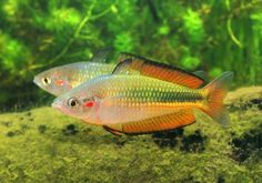 Melanotaenia duboulayi were initially collected in the from the Richmond River in northern New South Wales by a man named Duboulay (du Boulay). Shedd Aquarium, Aquarium Fish, Colorful Fish, Tropical Fish, Rainbow Fish, Lovely Creatures, Foliage Plants, Planted Aquarium, Freshwater Aquarium