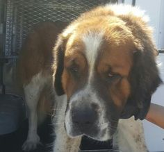 Animal ID\t34946766 \r\nSpecies\tDog \r\nBreed\tSaint Bernard\/Mix \r\nAge\t2 years \r\nGender\tMale \r\nSize\tLarge \r\nColor\tBrown\/White \r\nSite\tCity of El Paso, Animal Services \r\nLocation\tDQB \r\nIntake Date\t3\/26\/2017 \r\n