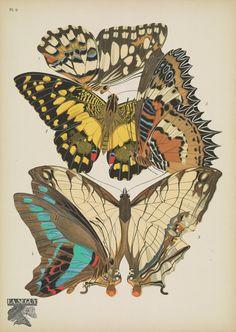 https://flic.kr/p/DBnzpP   n22_w1150   Papillons;. Paris,Tolmer[ca. 1925]. biodiversitylibrary.org/page/48852975