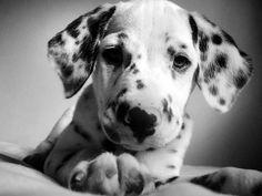 Dalmatian Puppy <3