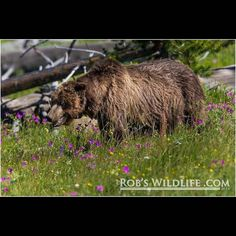 Scarface a couple of years ago  RIP - You amazing Bear  Yellowstone National Park. #wildlifephotography #wild #wild #wildlife #yellowstonenationalpark #yellowstone #grizzlybear #grizzly #grizzlies