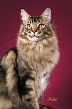 maine coon - Google Search