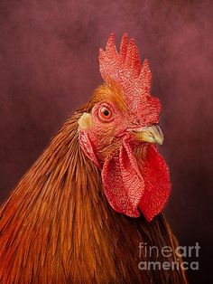 Rooster portrait by Linsey Williams #photographer #photography #photo