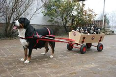 Swiss Mountain Dog pulling a cart full of puppies!