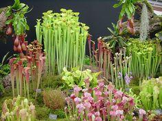 Pitcher plant display