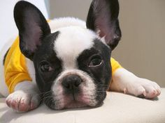 French Bulldog Chikuwa http://www.flickr.com/photos/14180983@N02/sets/72157602529573711/