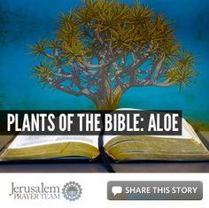Plants of the Bible: Aloe    For more on this story, visit: http://articles.jerusalemprayerteam.org/plants-of-the-bible-aloe/    LIKE and SHARE this story to encourage others to pray for peace in Jerusalem, and leave your own PRAYERS and COMMENTS below.	    To help our cause financially, go here: http://jerusalemprayerteam.org/email/2013/0124-2-fb.htm