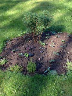 Keltahanikin ympäriile jaloakileijaa.kasvatin siemenestä.ei kerennyt kukkia tänä vuonna.taitaa olla myös muutama kääpiöneiöikka ja sammalleimukukka.