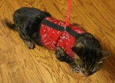 Cats who hate harnesses LOVE the Kitty Holster cat harness! Walk your cat!