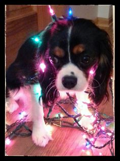 Marlo the Cavalier Christmas Tree! ;) (8 month old Cavalier King Charles Spaniel)