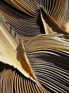 stipha:American cotton palm