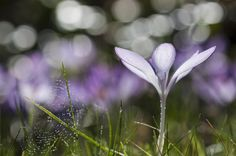 the first crocus at early backlight by Uta Naumann on 500px