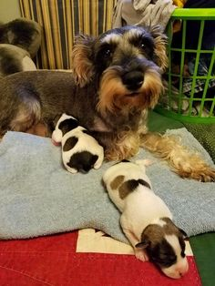Momma Schnauzer with two of her babies!