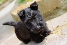 This is what my evilpuffle looked like as a baby! Scotties all look the same.. I love her so much!