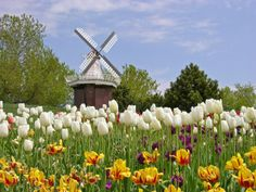 windmills, tulips - what else do you need?