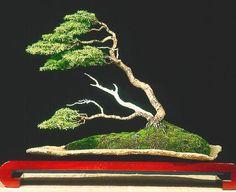 ✿ڿڰۣ(̆̃̃•Aussiegirl Juniper Bonsai
