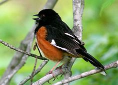 This is an Eastern Towhee.  We saw these frequently in Bloomington, In but when we moved just 2 hours north to Lafayette we rarely saw them.  They have a neat call that sounds like their name.
