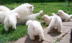 mommy and babies #samoyeds