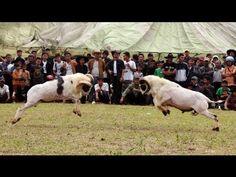 Seni Ketangkasan Domba Garut  Paguyuban 30 Fapet Unpad 2013