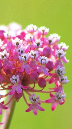 Swamp Milkweed - what an UGLY name for such a beautiful flower