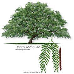 Mesquite / Honey Mesquite / Prosopis Glandulosa