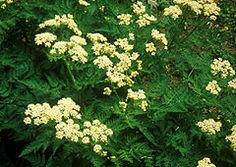 Herb known as Sweet Cicely, Garden Myrrh, Fern leaf Chervil. Whole plant has anise fragrance. Use fresh as loses flavor when dried. Salads, eggs, potatoes & fish. grow in moist soil in part shade. 40 days to harvest. (tbb)