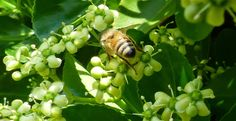 SingleMalt-CapeBreton-NorvellHimself: And Foraging Honey Bees