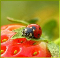 Ladybird on strawberry Lady Bug, Photo Coccinelle, Amor Animal, Cockerspaniel, Beautiful Bugs, Bugs And Insects, Love Bugs, Macro Photography, Beautiful Creatures