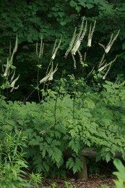Cimicifuga racemosa   (Actaea racemosa) This is the green variety, grows taller than Atropurpurea 'Black Beauty'.