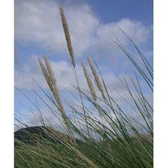 http://www.senteursduquercy.com/1197-thickbox/ammophila-arenaria-oyat-des-dunes.jpg