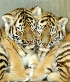 64 Ideas for baby animals cuddling tiger cubs Cute Baby Animals, Animals And Pets, Funny Animals, Wild Animals, Jungle Animals, Big Cats, Cats And Kittens, Cute Cats, Siamese Cats