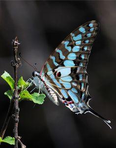 il est beau ce papillon, ce bleu et ce dessin sophistication extrême, une rareté?!? j'adore.... et vous?