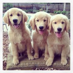 Golden Retriever puppy siblings Winston, Watson, and Luna at 16 weeks old.