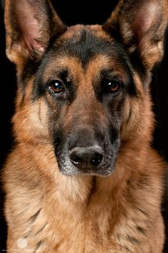 Beautiful Alsatian/German Shepherd. Lovely portrait. We had a rescue guard dog alsatian when I was a child after it had been badly treated by it's previous owner. She was protective, kind and patient.