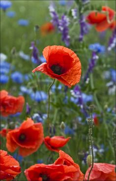 Wild poppies in Germany Wild Poppies, Wild Flowers, Poppy Flowers, Purple Flowers, Flower Images, Beautiful Gardens, Planting Flowers, Flowers Garden, Flower Power