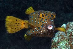 Which is your favorite boxfish? http://aquaviews.net/explore-the-blue/boxed/