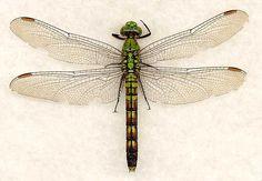 DRAGONFLY - Genus Erythemis - Erythemis collocata - 'Western Pondhawk' female