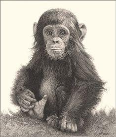 Chimpanzé, dessin au crayon