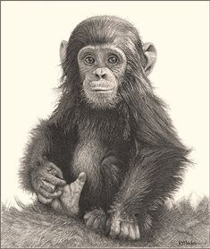 "'Fingers and Thumbs'- Chimp - Fine Art Pencil Drawings-www.drawntonature.co.uk - 217mm x 253mm (8 9/16"" x 9 15/16"")"