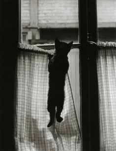 La Fenêtre, Paris 1954 by Willy Ronis  (from 'Les Chats')